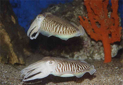 Common cuttlefish - Sepia officinalis