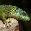 Dino - the Balkan Green Lizard