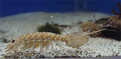 Mantis shrimp - Rissoides desmaresti