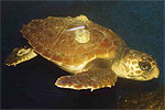 Rescued Loggerhead Turtle