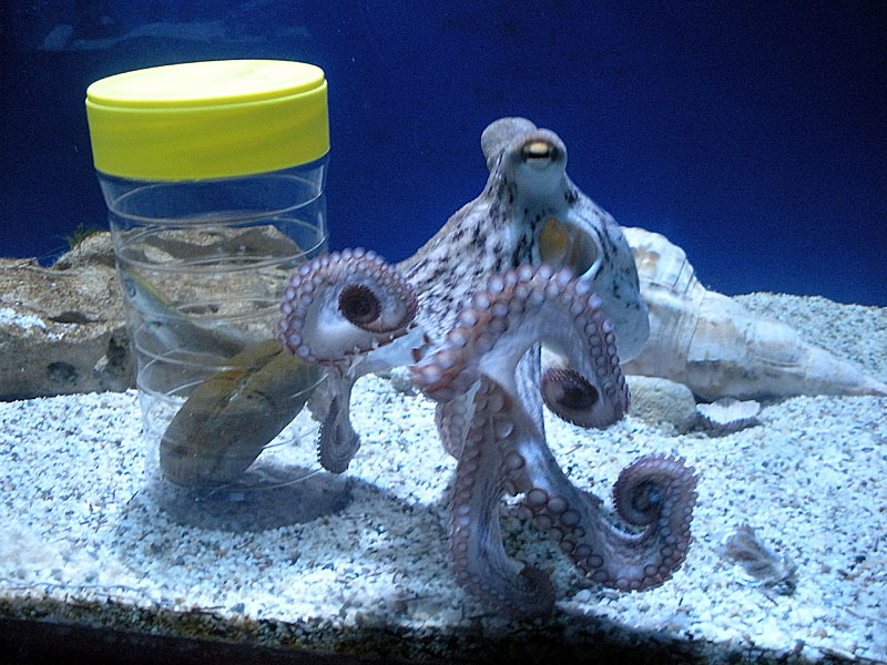 Olivia the octopus inspects her lunch!