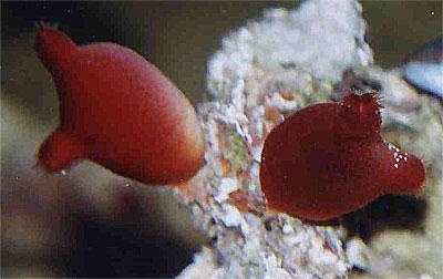 Ασκός - Halocynthia papillosa