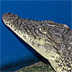 Snap - the Nile Crocodile