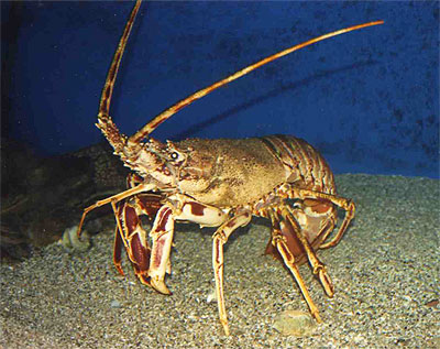 Spiny lobster - Palinurus vulgaris