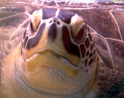 Stephania the blind green turtle