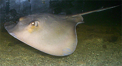 Common stingray - Dasyatis pastinaca