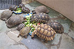Tortoise Breakfast-time